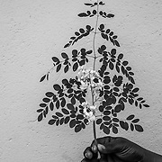 The Tree of Life- Moringa