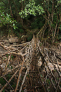 Living bridge or Root bridge (Ficus elastica)<br /> Khasi Tribe<br /> Nongriat, Khasi Hills<br /> Meghalaya, ne India<br /> Range: South China, NE India, Burma