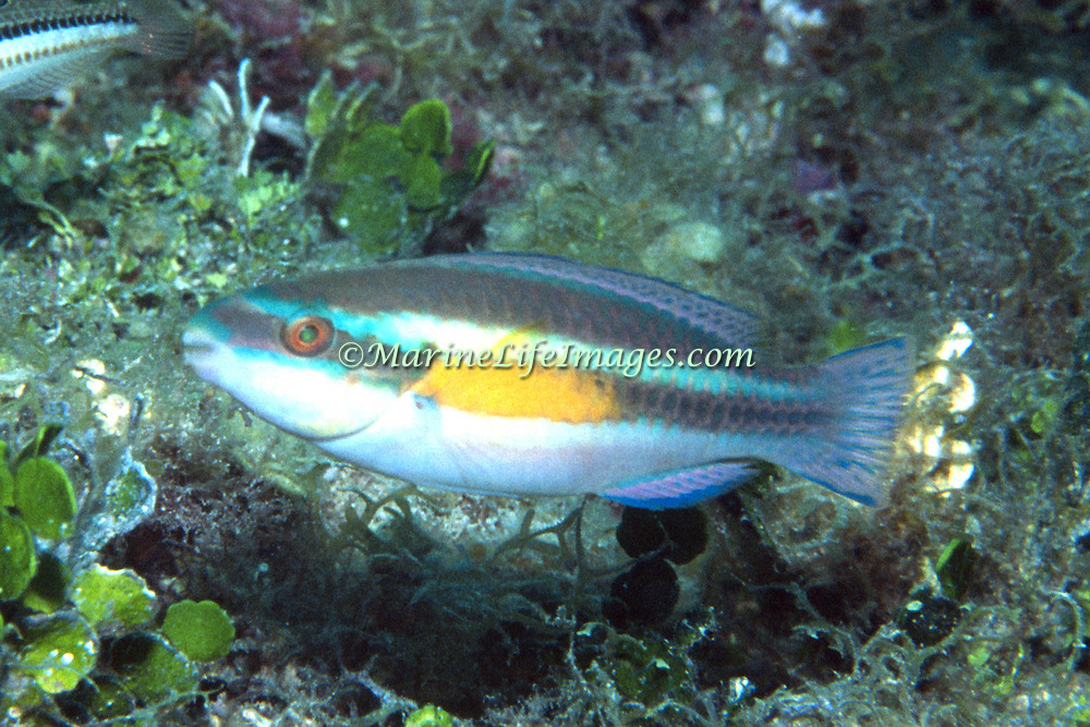 Striped Parrotfish swim about reefs and adjacent areas scrapping filamenmtous algae from hard substrates in Tropical West Atlantic; picture taken Dry Tortugas, FL.