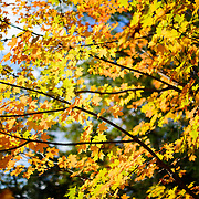 Maples leaves in the fall in upstate New York.