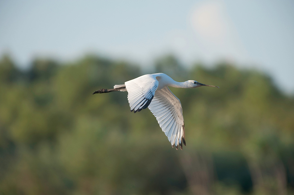 White spoonbill (Platalea leucorodia) at the lake Belau, Moldova