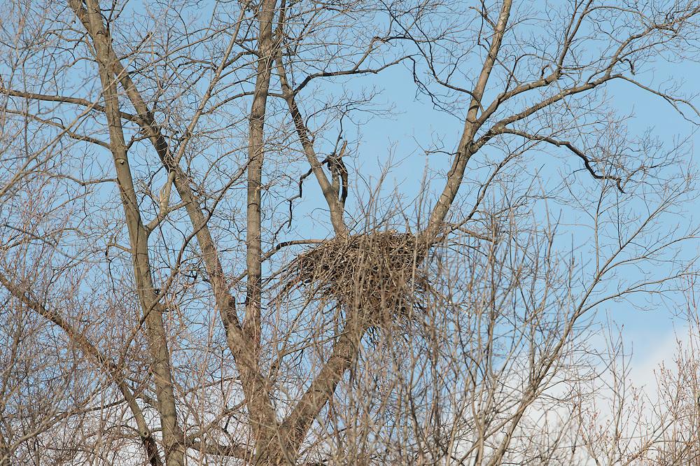 Bald Eagle nesting pair in Cato NY
