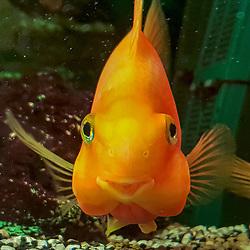 Peixe de aquário (registro) fotografado na Alemanha. Registro feito em 2019.<br /> ⠀<br /> ⠀<br /> <br /> <br /> <br /> <br /> <br /> <br /> <br /> <br /> <br /> <br /> ENGLISH: Aquarium fish photographed in Germany, in Europe. Picture made in 2019.