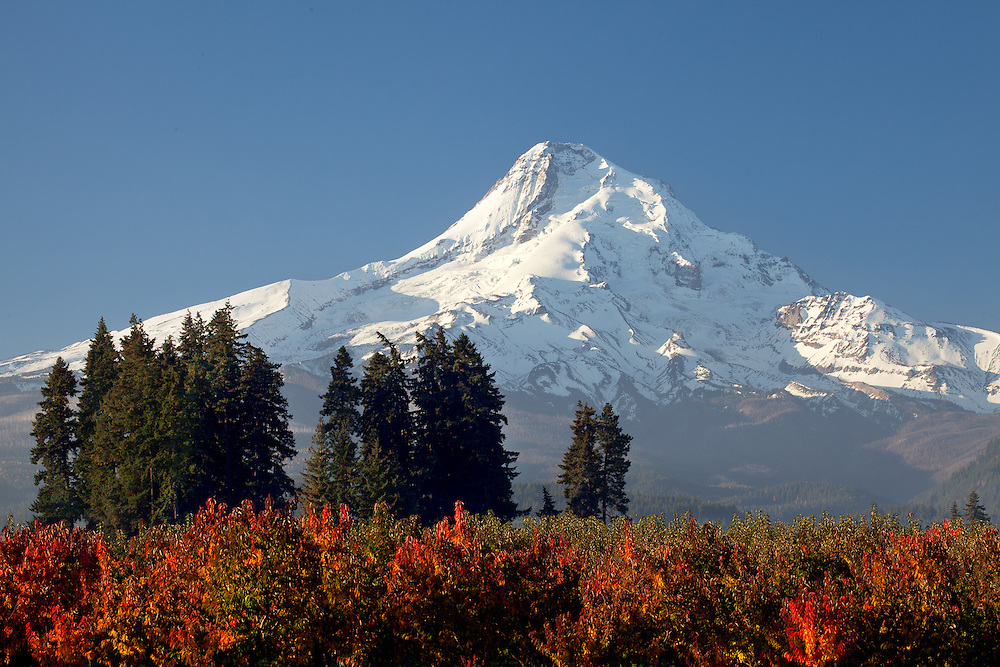 Red-leafed apple trees color the foreground to beautiful Mt. Hood, Hood River County, Oregon.