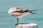 Juvenile Laughing gull, Larus atricilla, preening on shoreline at Anna Maria Island, Florida, USA