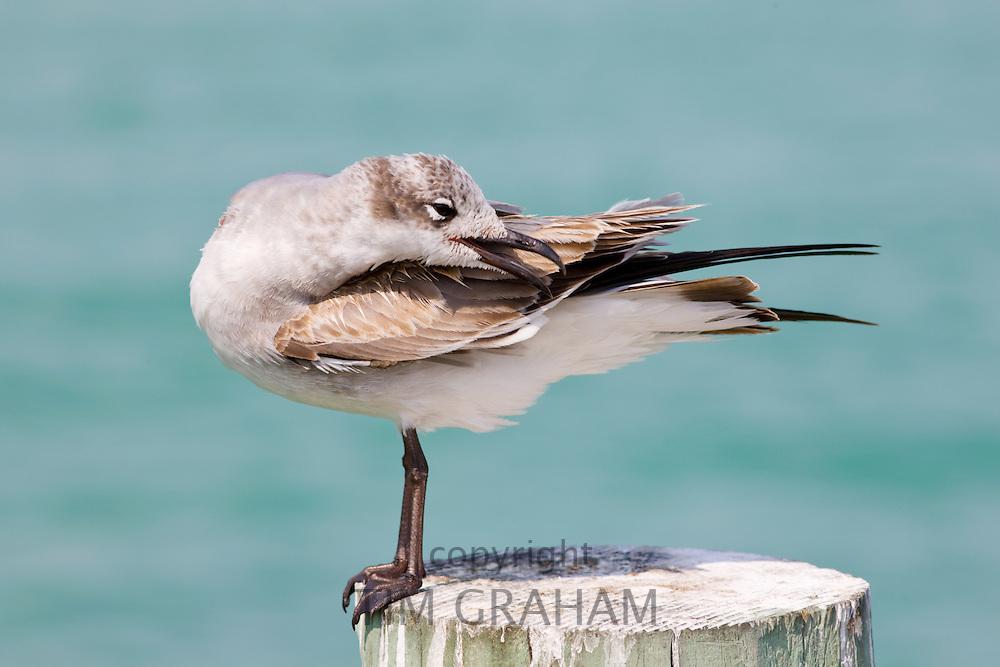 Juvenile Laughing gull, Larus atricilla, preening on shoreline at Anna Maria Island, Florida, USA