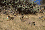 Mule Deer, Deer, Sequoia and Kings Canyon National Park, California