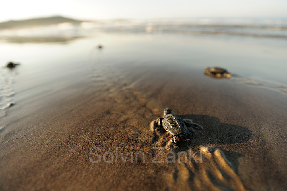 Soon the hatchling loggerhead sea turtles (Caretta caretta) will be safe from the ghost crabs and the fast growing heat of the rising morning sun. | Unechte Karettschildkröte (Caretta caretta)