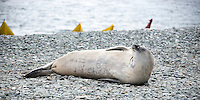 Perhaps the most amazing way to travel around the pristine Antarctic waters is by kayak. Slowly paddling up to an island, and going for an explore.  This seal was snoozing away, and looked up checked us out and then went back to snoozing.
