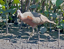 A Chestnut rail, or Mud Hen, on the banks of a remote Kimberley river.