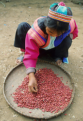 Asia, Thailand, hill tribe girl in traditional clothing cleaning kidney beans.