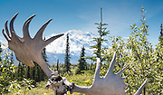 View of Denali, the Great One, framed by moose antlers, from the Eielson Visitor Center, Denali National Park, Alaska.