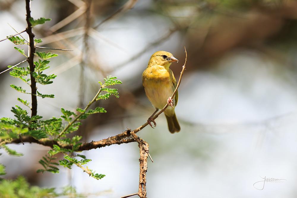Vitelline Masked Weaver, female, Ploceus Velatus, Större Maskvävare, Lake Manyara, Tanzania, Africa