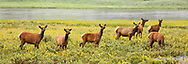 Elk herd in wildflowers along the Gardiner River, Yellowstone National Park, WY, © 2005 David A. Ponton
