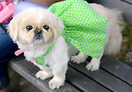 BRISTOL, PA -  SEPTEMBER 14:  Sasha Conard, a pekingese is all dressed for the fun at the Italian Festival September 14, 2013 in Bristol, Pennsylvania. Her owner, Judith Conard frequently brings her to a senior center where the senior citizens adore her. (Photo by William Thomas Cain/Cain Images)