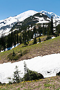 Mount Rainier rises to 14,411 feet elevation. Fields of Erythronium grandiflorum (also called glacier lily, yellow avalanche lily, and dogtooth fawn lily) grow on the flanks of Burroughs Mountain in Mount Rainier National Park, Washington, USA.
