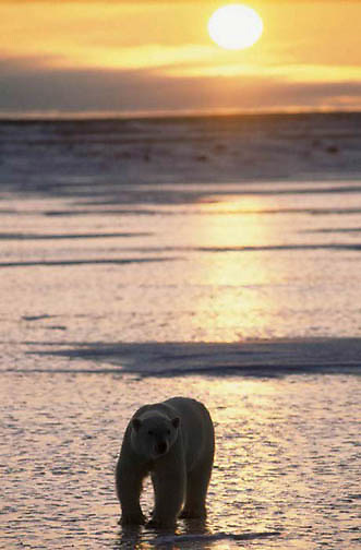 Polar Bear, (Ursus maritimus) Sunset on the shores of Hudson Bay and lone bear. Churchill, Manitoba. Canada.