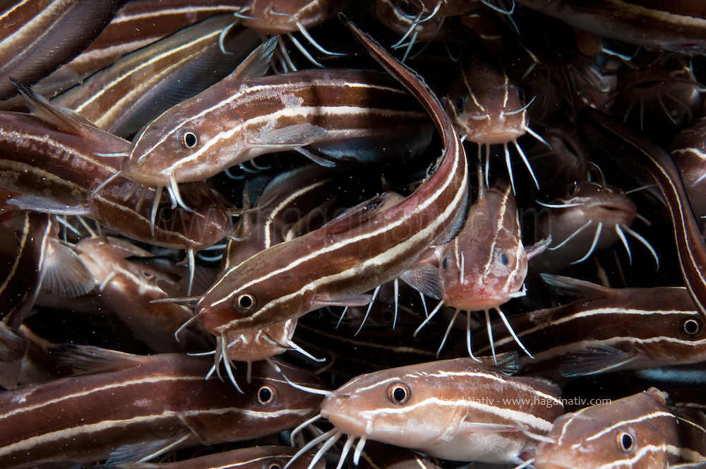 a lessepsian species, Plotosus lineatus, catfish at the mediterranean.<br /> <br /> The venomous striped eel catfissh Plotosus lineatus<br /> was first recorded in the Mediterranean in 2002.<br /> Within 1-3 years, it has spread throughout the entire Israeli coast.<br /> <br /> The only catfish found in coral reefs. Also found in estuaries, tide pools and open coasts. Juveniles form dense ball-shaped schools of about 100 fish; adults are solitary or occur in smaller groups of around 20 and are known to hide under ledges during the day . Adults search and stir the sand incessantly for crustaceans, mollusks, worms, and sometimes fish . Oviparous, with demersal eggs and planktonic larvae . The highly venomous serrate spine of the first dorsal and each of the pectoral fins are dangerous, and even fatal in rare cases