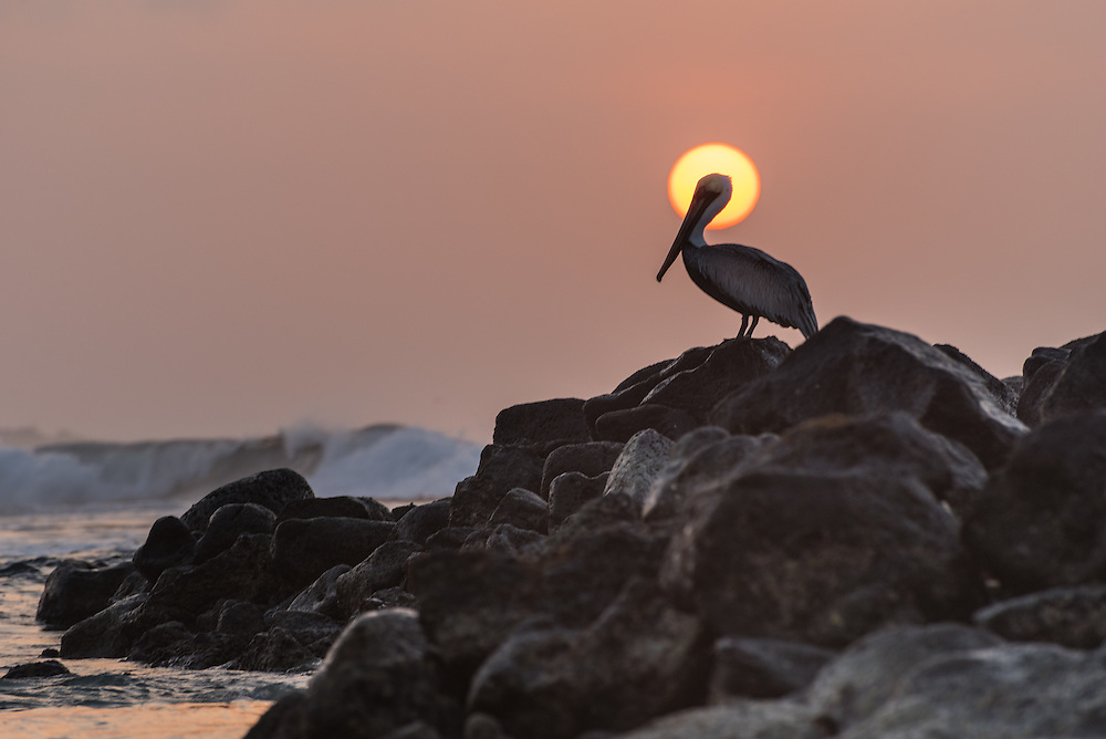 A pelican sits on the rocks overlooking the ocean at sunrise, Isla Isabela, Galapagos, Ecuador.