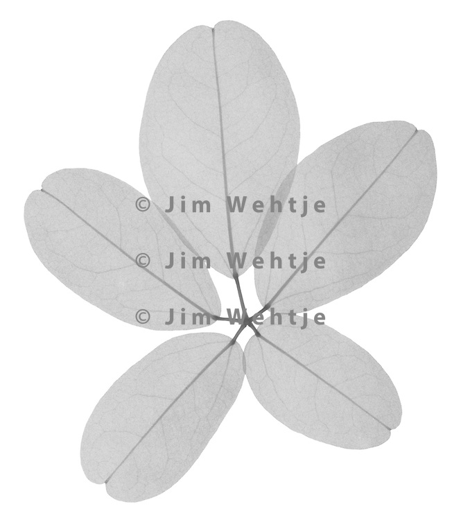 X-ray image of a chocolate vine leaf (Akebia quinata, black on white) by Jim Wehtje, specialist in x-ray art and design images.