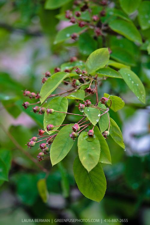 Serviceberry (Amelanchier canadensis)