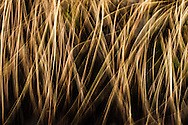A picture of grass growing in a swamp.