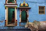 A devotee visits a hindu shrine inside the old city of Jodhpur as a cow stands outside.