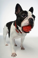 French Bulldog holding ball in mouth on white background