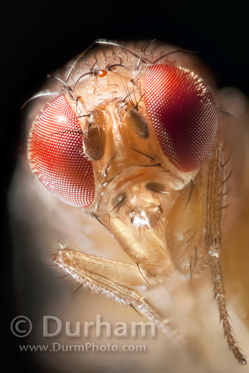 Portrait of a female spotted wing fruit fly. An introduced pest species in North America, the spotted wing fruit fly (Drosophila suzukii) feeds and breeds on fresh berries such as rasberries, strawberries and cherries – unlike most fruit flies that infest decaying and rotting fruit. Drosophila suzukii is a substantial pest for berry and fruit farmers.
