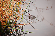 This is a photograph of a gator in the reeds at Wakodahatchee Wetlands in Delray Beach, Florida.