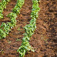 Rows of young Genovese basil plants
