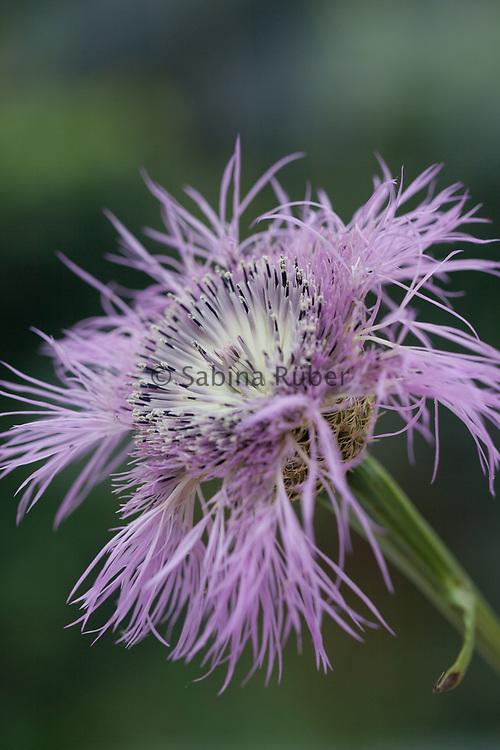 Centaurea americana 'Aloha Rosa' - basket flower