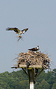Osprey adding to nest - one symbol of enviromental restoration near the mouth of the Connecticut River.