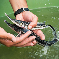 Young sturgeons at a farm raising mainly starry sturgeons, Acipenser stellatus, also known as stellate sturgeon. The starry sturgeon is considered critically endangered by the IUCN and international trade in this species (including its caviar) is restricted by CITES. This farm Kavoar House is located outside Horia village, close to Danube Delta, Romania.