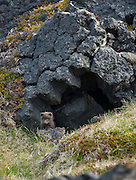 Arctic fox in the western part of Iceland.