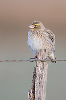 Southern Red Bishop in ecliptic plumage, Bredasdorp, Overberg, Western Cape, South Africa,