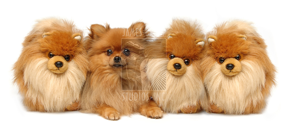 A Pomeranian sitting next to three fake ones on a white background