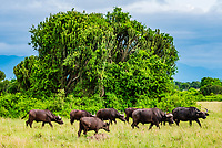 Cape buffalo with cactus tree (a.k.a. Candelabra tree) in background, Queen Elizabeth National Park, Uganda.