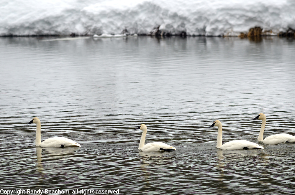 Three trumpeter swans and what appears to be one tundra swan (second from left) floating on the Yaak River in late winter 2017. Yaak Valley in the Purcell Mountains, northwest Montana.