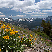 "Pronounced ""Mice and Mules"" This image of Mules Ear Plant was taken on Ridge above Meiss Meadow/Lakes looking south near Carson Pass Highway 88 CA when the wildflowers were in full bloom."