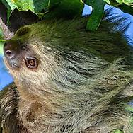 Two-Toed Sloth (Choloepus hoffmanni)