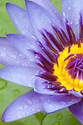 A vertical picture of a purple and yellow water lily.