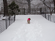 Lone dog in a red jacket in the snow in Central Park