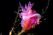 Nudibranch (Flabellina pedata) | Violette Fadenschnecke (Flabellina pedata)