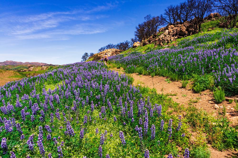 Wildflowers and hiker at Charmlee Wilderness Park, Malibu, California USA