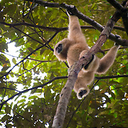 The endangered White-handed gibbon (Hylobates lar) in Kaeng Krachan National Park, Thailand.