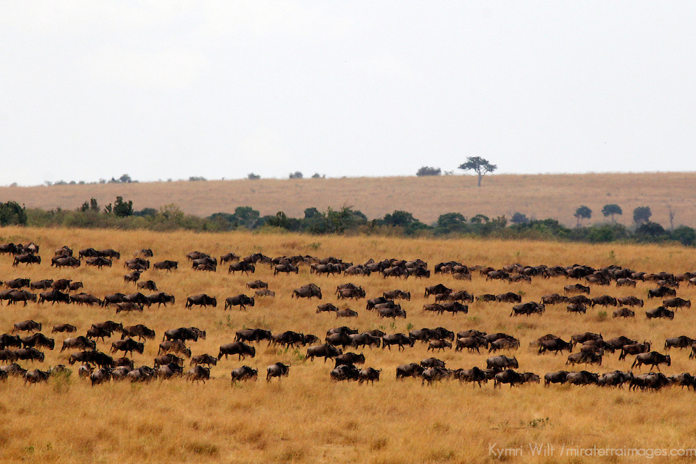 Africa, Kenya, Masai Mara. Grazing wildebeest herds in the Mara.