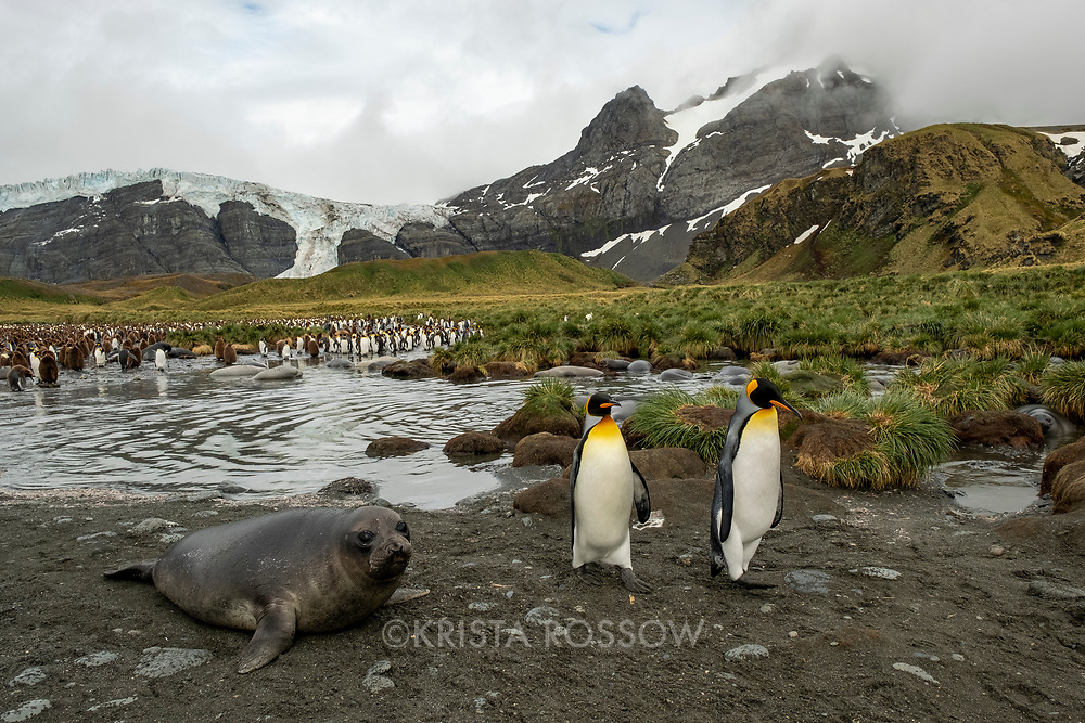 King penguins walk next to an elephant seal weaner in a massive breeding colony at Gold Harbour on South Georgia Island.