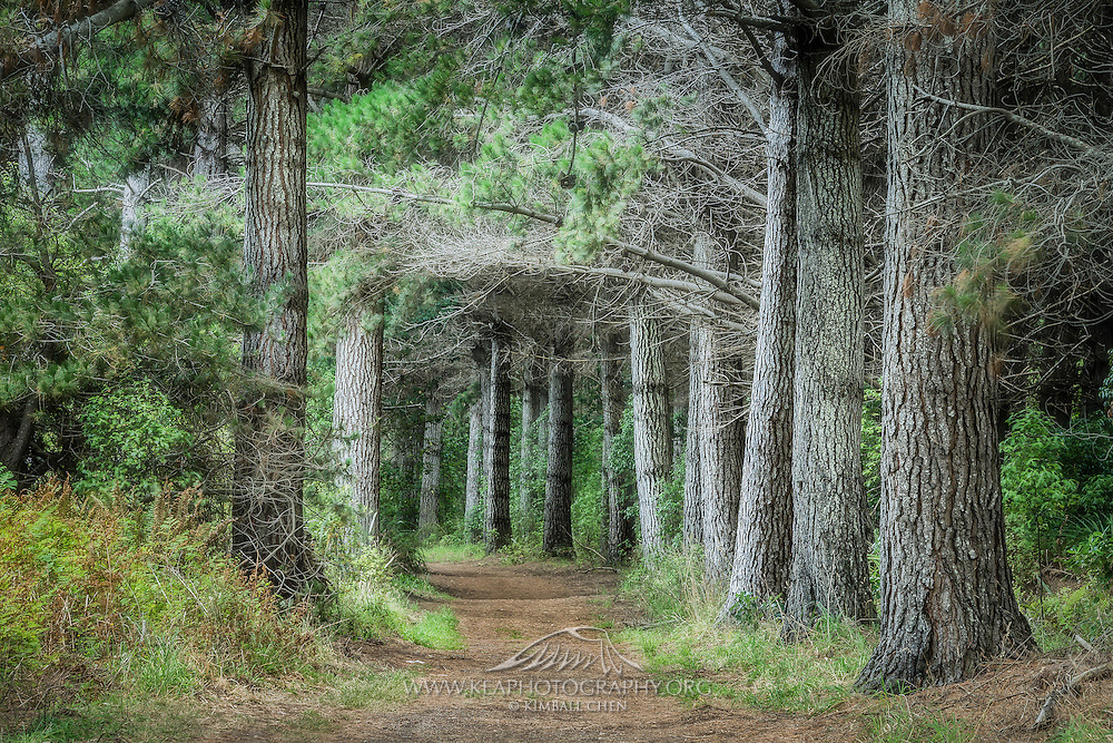 Forest at Sandy Point, along the Rover Track, Invercargill, New Zealand