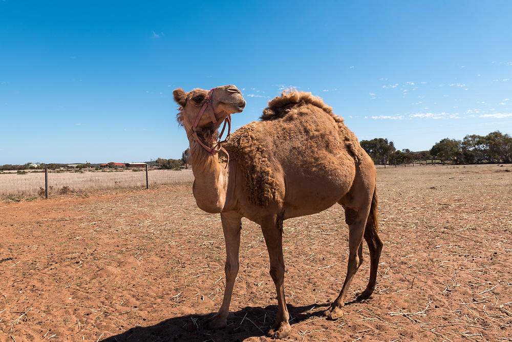 A camel walks around in a fenced in area outside Geraldton, Australia.